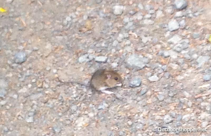zutrauliche Maus