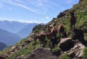 Bergziegen